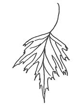 Cutleaf Weeping Birch leaf