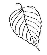 River Birch Leaf