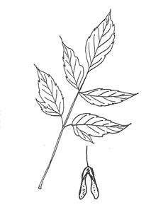 Boxelder leaf
