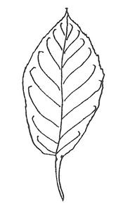 Amur Chokecherry leaf