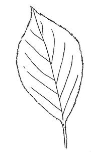 Common Chokecherry leaf