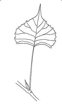 Plains Cottonwood leaf