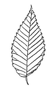 Siberian Elm leaf