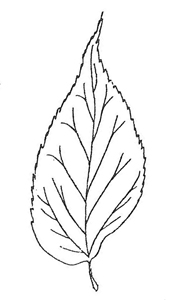 Hackberry leaf