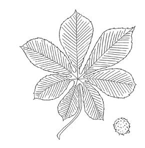 Horsechestnut leaf