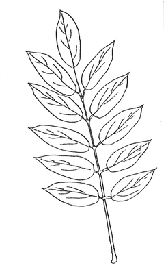 Japanese Pagoda Tree Leaf