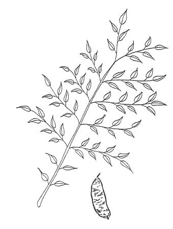 Kentucky Coffeetree leaf