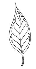 Japanese Tree Lilac Leaf