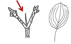 Thorn on Buckthorn