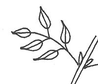 Pinnately compound leaf