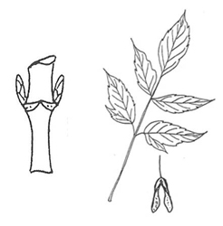 Boxelder Leaf and leaf scar
