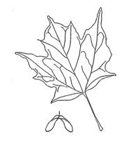Sugar Maple Leaf