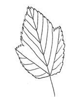 Tatarian Maple Leaf