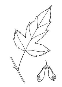 Amur Maple Leaf