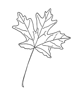 Big Tooth Maple Leaf