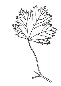 Rocky Mountain Maple leaf