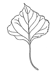 Lombardy Poplar leaf