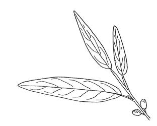 Russian Olive leaf