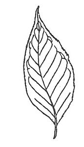 Eastern Wahoo Leaf